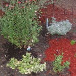 6/19/2006 Early June plantings with Harlequin Euonymus