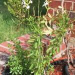 6/19/2006 White Autumn Sage