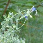 9/20/07 The Blue Flowers of Salvia Chamaedryoides