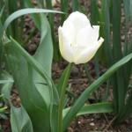 3/27/2008 White Tulip