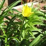 4/11/2008 Yellow Tulip