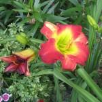 6/9/2008 June Gallery of Flowers (11)