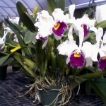 3/20/2009 Orchids at Gunther's (4)