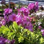 4/1/2009 The Plant Market: Azalea Closeup