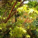4/1/2009 The Plant Market: Coralbark Japanese Maple