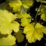 4/1/2009 The Plant Market: Harvest Lemon Chiffon Heuchera