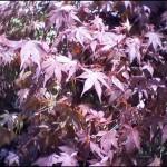 4/1/2009 The Plant Market: Japanese Maple