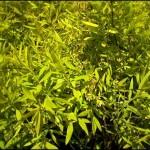 4/1/2009 The Plant Market: Mellow Yellow Spirea