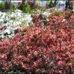 4/1/2009 The Plant Market: Rows of Azaleas