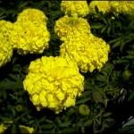 4/1/2009 The Plant Market: Yellow Marigolds