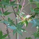 6/21/2009 Japanese Maple Leaves (4)