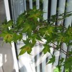 6/21/2009 Japanese Maple Leaves (2)