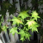 6/21/2009 Japanese Maple Leaves (1)
