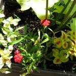 7/6/2009 Visitor in my Coleus (3)