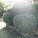 10/27/2009 Rental Home Landscape (16)