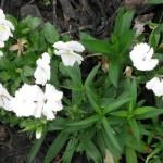 4/5/2010 Spring Beds (3)