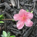 5/14/2010 Spring Flower Beds (56)