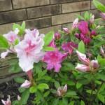 5/14/2010 Spring Flower Beds (52)