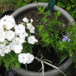 5/14/2010 Spring Flower Beds (47)