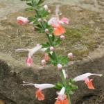 5/14/2010 Spring Flower Beds (46)