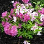 5/14/2010 Spring Flower Beds (39)