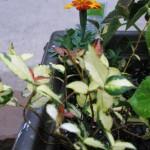 5/14/2010 Spring Flower Beds (16)