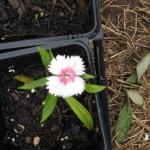 5/14/2010 Spring Flower Beds (7)