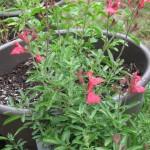 5/14/2010 Spring Flower Beds (3)