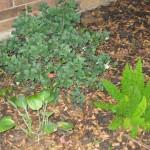 9/28/2010 September garden (10)