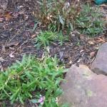 1/15/2011 Early Winter Garden (43)