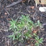 1/15/2011 Early Winter Garden (41)