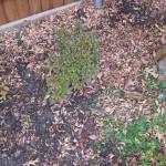 1/15/2011 Early Winter Garden (29)