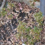 1/15/2011 Early Winter Garden (28)