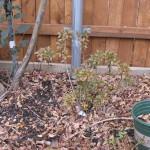 1/15/2011 Early Winter Garden (26)