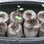 2/22/2011 Seedlings (2)