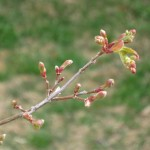 3/8/2011 Asahi Zuru Leafing Out