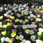 3/19/2011 Dallas Blooms (5)