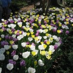 3/19/2011 Dallas Blooms (6)