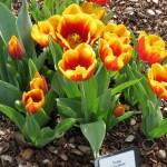 3/19/2011 Dallas Blooms (88)