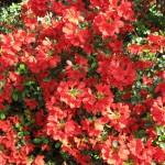 3/19/2011 Dallas Blooms (18)