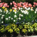 3/19/2011 Dallas Blooms (23)