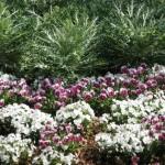 3/19/2011 Dallas Blooms (28)