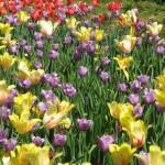 3/19/2011 Dallas Blooms (47)