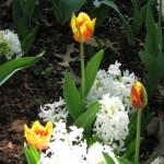 3/19/2011 Dallas Blooms (63)