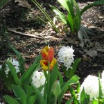 3/19/2011 Dallas Blooms (65)