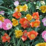3/19/2011 Dallas Blooms (68)