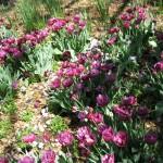 3/19/2011 Dallas Blooms (69)