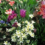 3/19/2011 Dallas Blooms (74)