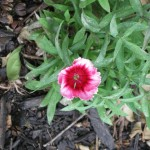 4/22/2011 Super Parfait Raspberry Dianthus first bloom of the year