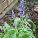 4/22/2011 Victoria Blue salvia first bloom of the year